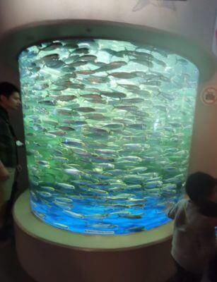 しながわ水族館の回遊魚